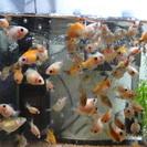 ピンポンパールの稚魚です