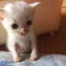 可愛い白猫の子猫ちゃん
