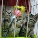 可愛いキジトラ5匹兄妹、生後2ヶ月くらい。