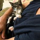 野良猫の子猫を保護しました。里親募集中です。