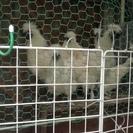 烏骨鶏(白、雄3羽、雌1羽)をお譲りします。