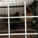 矮鶏(黒、雌2羽、茶色、性別不明1羽)をお譲りします。