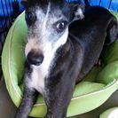 イタグレ成犬3歳♀♂ブラック