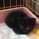 左目ハンデあり。2カ月オトコの黒猫ちゃん