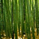 【0円】竹藪の竹をあげます。4月、5月タケノコ狩りもOKです。の画像