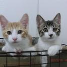 <静岡県内可能な限り対応> 仲の良い双子兄妹 生後6ヶ月 2頭同時...