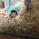 砂ネズミ(ジャービル)2匹里親募集