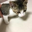 3ヶ月の可愛い仔猫ちゃん − 青森県
