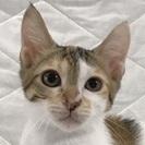 生後2.5カ月の美人三毛子猫