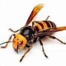 蜂(ハチ)の駆除 承ります!
