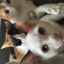 ☆4ヶ月のシャム猫風な女の子☆