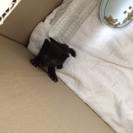 ☆生後約2週間のメス黒猫☆