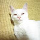 7/18最新写真追加!生後4ヶ月になった白猫もらって下さい!