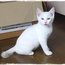 とっても綺麗な白猫3ヶ月くらい 可愛がって下さい