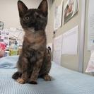 子猫「キューブ」3か月女の子