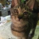 代理記載です。生後5ヶ月キジトラ、グレーの猫ちゃん里親