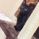 黒猫 2ヶ月 ♂