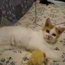 生後3ヶ月の可愛い白茶トラの女の子
