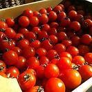 テレビ塔裏でミニトマト大量に売ってます!