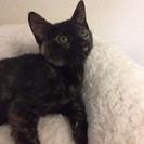 3カ月半 おっとりゴロゴロ♀サビ猫ひなちゃん
