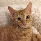 3カ月半 甘々ゴロゴロ♂茶トラ猫ともくん
