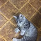 (決まりました)迷子の子猫里親さん募集 人間大好きな可愛い女の子