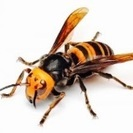 蜂(ハチ)の駆除のご依頼 承ります!の画像