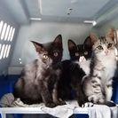 ワクチン済、2ヶ月の子猫3匹、女男女 未成年者ご遠慮下さい