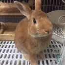 ミニウサギ オス 1歳半