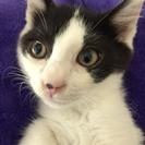 3カ月 お鼻のぽっちが可愛い子猫 ♂白地に黒ハチワレ ソルトくん