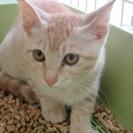 子猫「デイズ」3か月オス 茶トラ