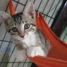 人慣れOK!子猫「サニー」2か月弱女の子 キジ白
