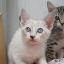 人慣れOK!子猫「ティーダ」2か月弱女の子 パステル系