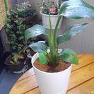 観葉植物ストレリチア オーガスタ(極楽鳥花)