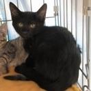 人慣れバツグン!子猫「シルフィ―」2か月男の子 黒猫