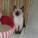 子猫「ルークス」2か月女の子 シャム系MIX
