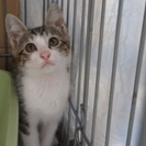 子猫「バード」2か月 男の子 キジ白