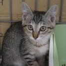 子猫「ブルー」2か月男の子 キジ