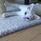 可愛い白猫くん3ヶ月半