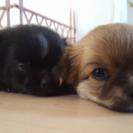 チワワミックスの子犬2姉妹