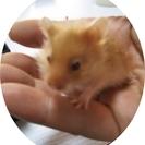 ゴールデンハムスターの赤ちゃん(キンクマ・長毛種)