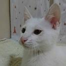 癒し系男子白猫とんとん君3ヶ月