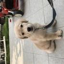 ゴールデンレトリバー 三ヵ月 子犬