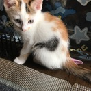 三毛猫メス