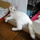 ブルーアイのやんちゃな白猫(女の子)です