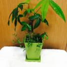 パキラ寄せ植え、観葉植物、鉢付き