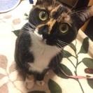 迷い猫探してます!黒茶のサビ猫、手足の先が白い子です!