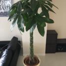 観葉植物 パキラ 10号