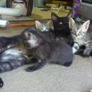 【募集終了】子猫の里親募集 (残りメスの子猫2匹から。)の画像