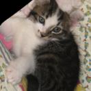 2ヶ月くらいのオス仔猫ちゃんです。